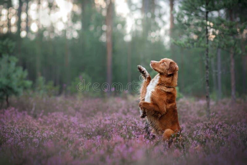 Retriever διοδίων παπιών της Νέας Σκοτίας σκυλιών συνεδρίαση στη Heather στοκ εικόνες