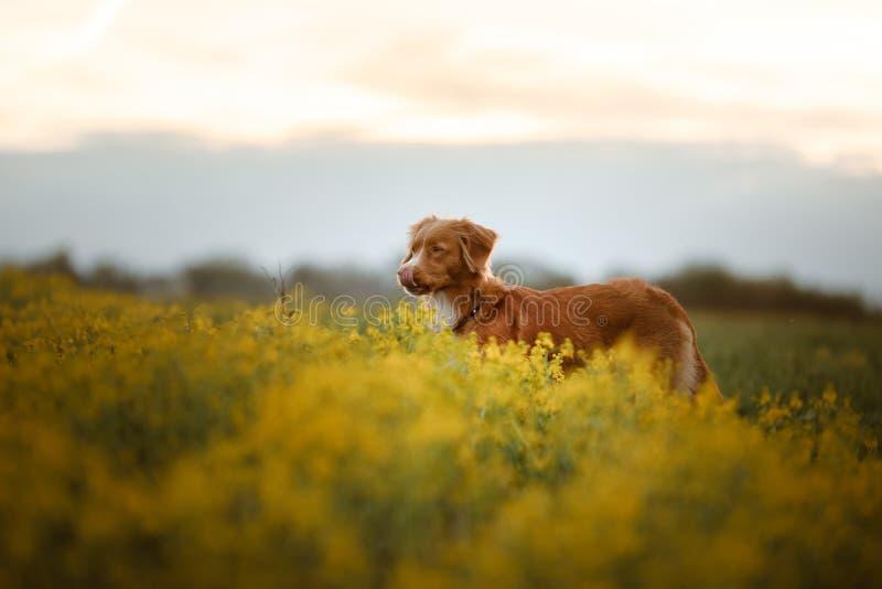 Retriever διοδίων παπιών της Νέας Σκοτίας στα λουλούδια στοκ φωτογραφία με δικαίωμα ελεύθερης χρήσης