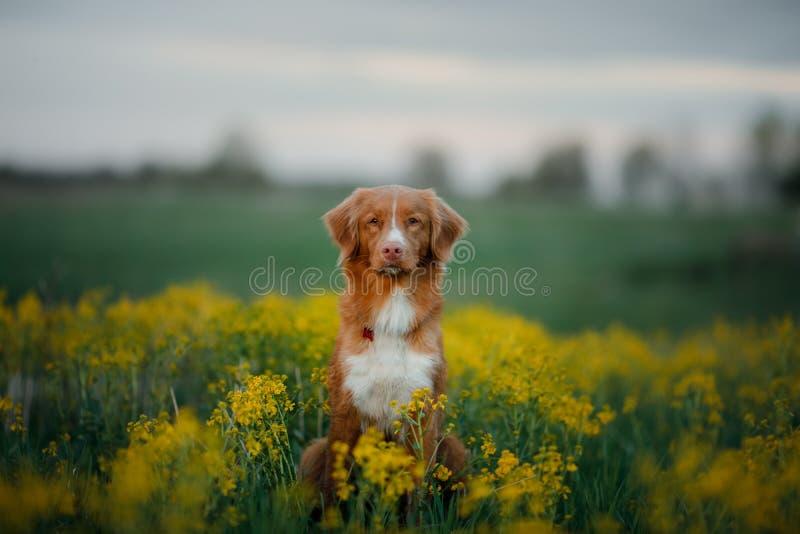 Retriever διοδίων παπιών της Νέας Σκοτίας στα λουλούδια στοκ φωτογραφίες με δικαίωμα ελεύθερης χρήσης