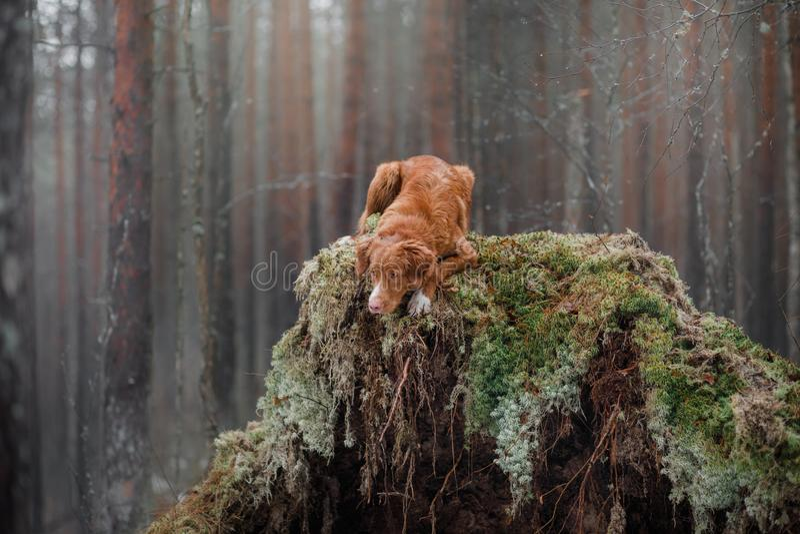 Retriever διοδίων παπιών της Νέας Σκοτίας στο δάσος στοκ φωτογραφίες με δικαίωμα ελεύθερης χρήσης