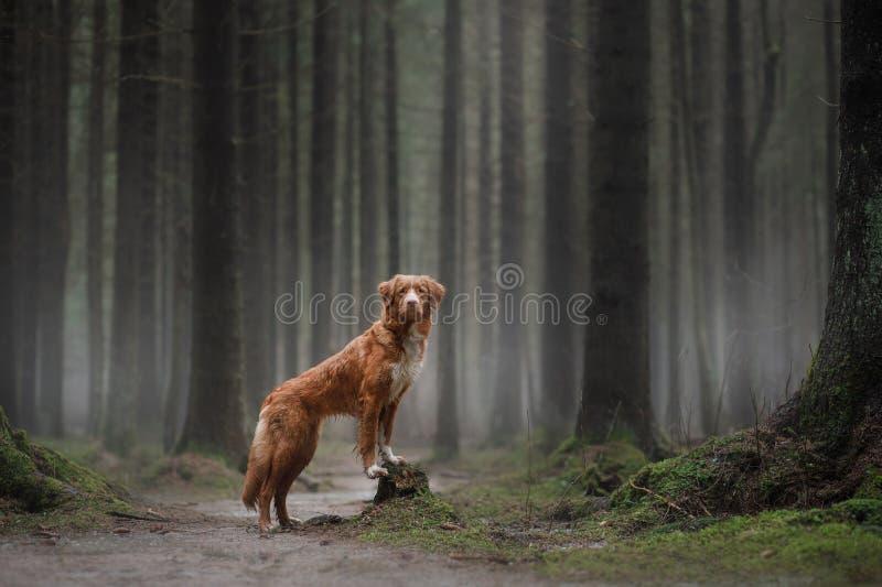 Retriever διοδίων παπιών της Νέας Σκοτίας στο δάσος στοκ εικόνες