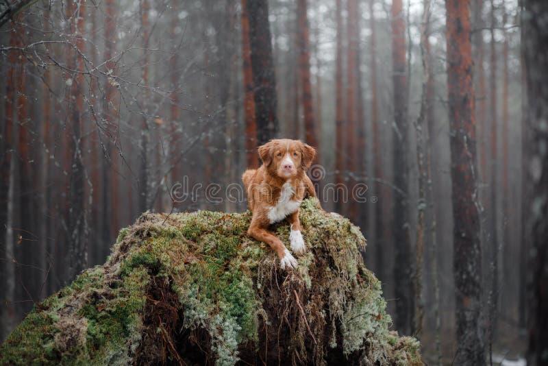 Retriever διοδίων παπιών της Νέας Σκοτίας στο δάσος στοκ εικόνες με δικαίωμα ελεύθερης χρήσης