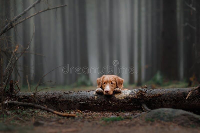 Retriever διοδίων παπιών της Νέας Σκοτίας στο δάσος στοκ φωτογραφία