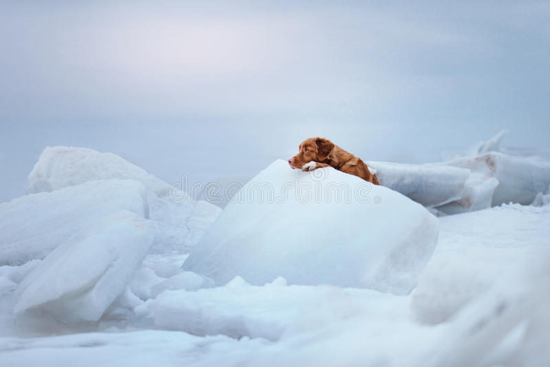 Retriever διοδίων παπιών της Νέας Σκοτίας βρίσκεται σε έναν επιπλέον πάγο πάγου στοκ φωτογραφία με δικαίωμα ελεύθερης χρήσης