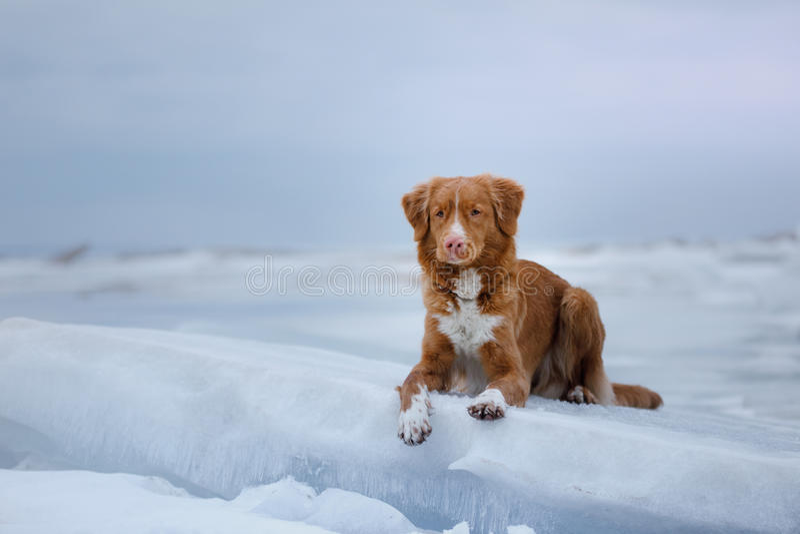 Retriever διοδίων παπιών της Νέας Σκοτίας βρίσκεται σε έναν επιπλέον πάγο πάγου στοκ φωτογραφίες
