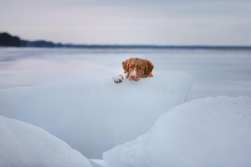 Retriever διοδίων παπιών της Νέας Σκοτίας βρίσκεται σε έναν επιπλέον πάγο πάγου στοκ εικόνες