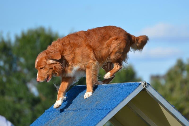 Retriever διοδίων παπιών της Νέας Σκοτίας σε μια δοκιμή ευκινησίας σκυλιών στοκ φωτογραφία με δικαίωμα ελεύθερης χρήσης