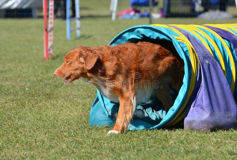 Retriever διοδίων παπιών της Νέας Σκοτίας σε μια δοκιμή ευκινησίας σκυλιών στοκ εικόνες