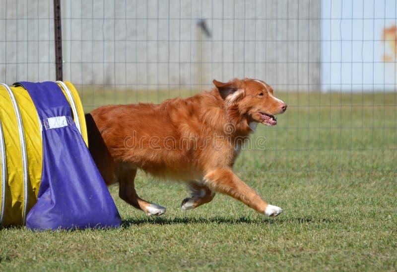 Retriever διοδίων παπιών της Νέας Σκοτίας σε μια δοκιμή ευκινησίας σκυλιών στοκ εικόνα