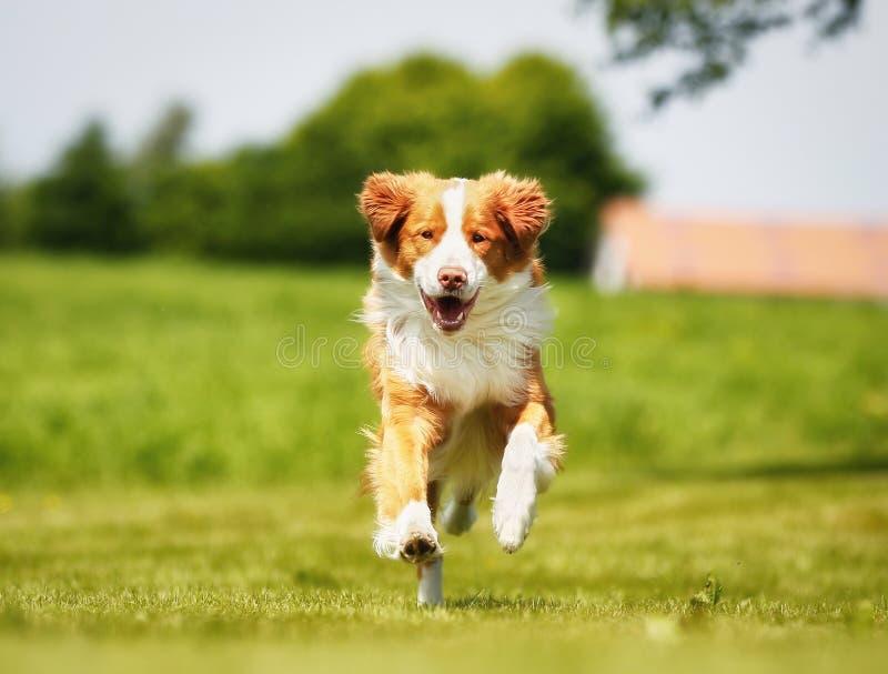 Retriever διοδίων παπιών της Νέας Σκοτίας σκυλί στοκ εικόνες