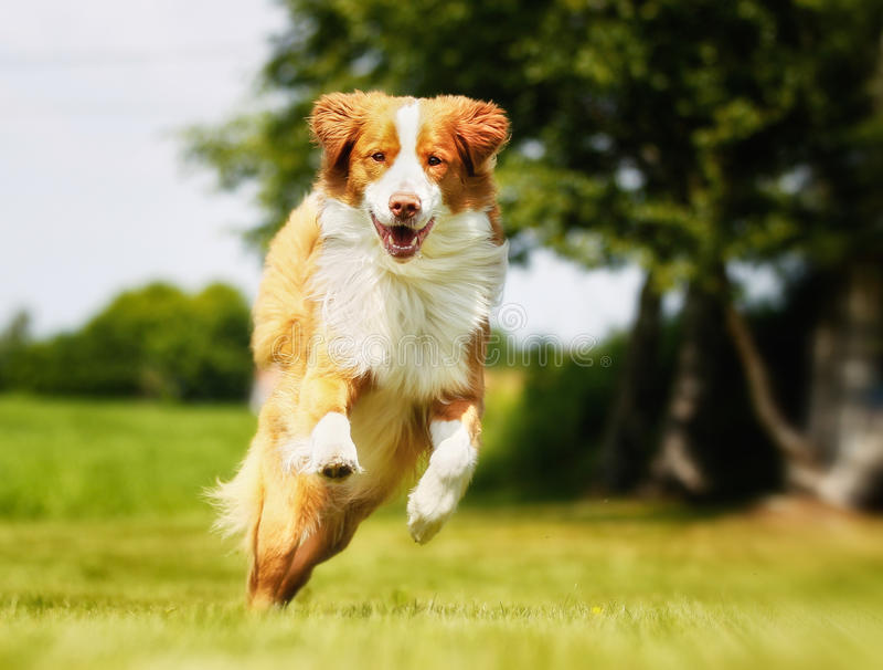 Retriever διοδίων παπιών της Νέας Σκοτίας σκυλί στοκ φωτογραφίες