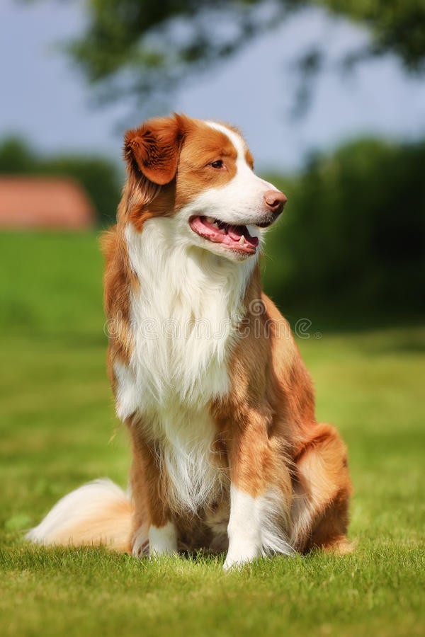 Retriever διοδίων παπιών της Νέας Σκοτίας σκυλί στοκ εικόνες με δικαίωμα ελεύθερης χρήσης