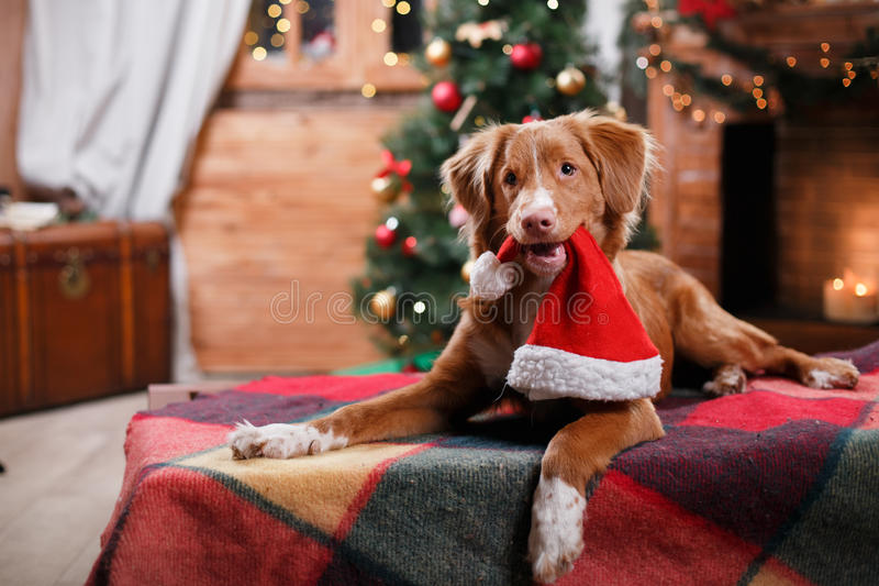 Retriever διοδίων παπιών της Νέας Σκοτίας σκυλιών διακοπές, Χριστούγεννα στοκ φωτογραφίες με δικαίωμα ελεύθερης χρήσης