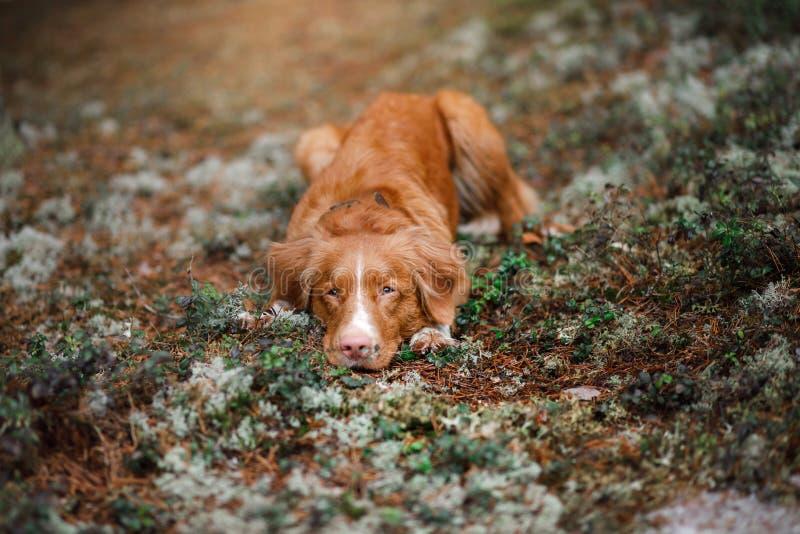 Retriever διοδίων παπιών της Νέας Σκοτίας σκυλιών υπαίθρια το πρωί στοκ εικόνα με δικαίωμα ελεύθερης χρήσης