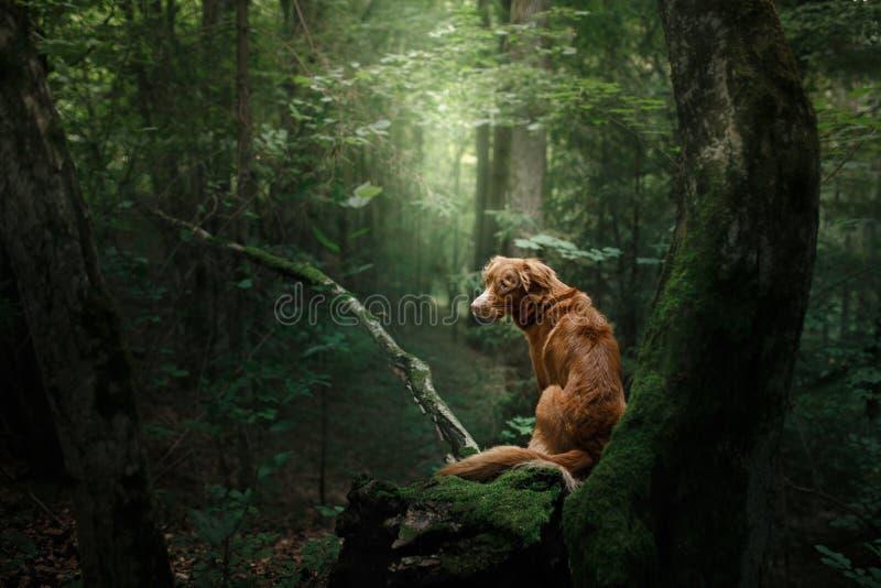 Retriever διοδίων παπιών της Νέας Σκοτίας σκυλιών υπαίθρια το πρωί στοκ φωτογραφία με δικαίωμα ελεύθερης χρήσης