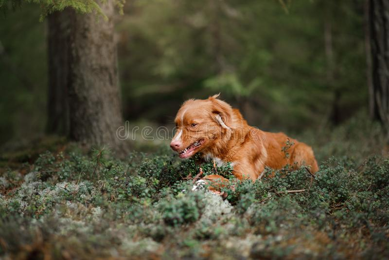 Retriever διοδίων παπιών της Νέας Σκοτίας σκυλιών υπαίθρια το πρωί στοκ εικόνες
