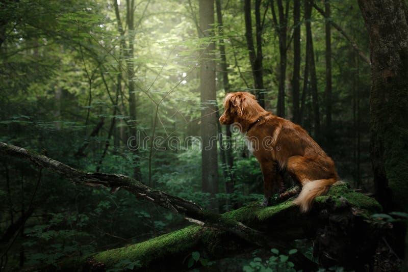 Retriever διοδίων παπιών της Νέας Σκοτίας σκυλιών υπαίθρια το πρωί στοκ φωτογραφία