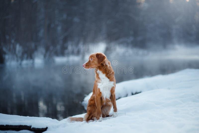Retriever διοδίων παπιών της Νέας Σκοτίας σκυλιών, υπαίθρια το χειμώνα, χιόνι, στοκ φωτογραφία με δικαίωμα ελεύθερης χρήσης