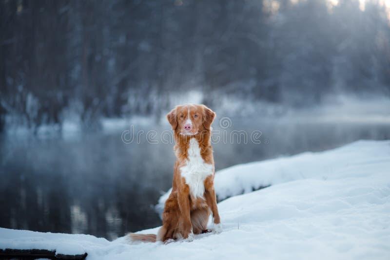 Retriever διοδίων παπιών της Νέας Σκοτίας σκυλιών, υπαίθρια το χειμώνα, χιόνι, στοκ φωτογραφίες