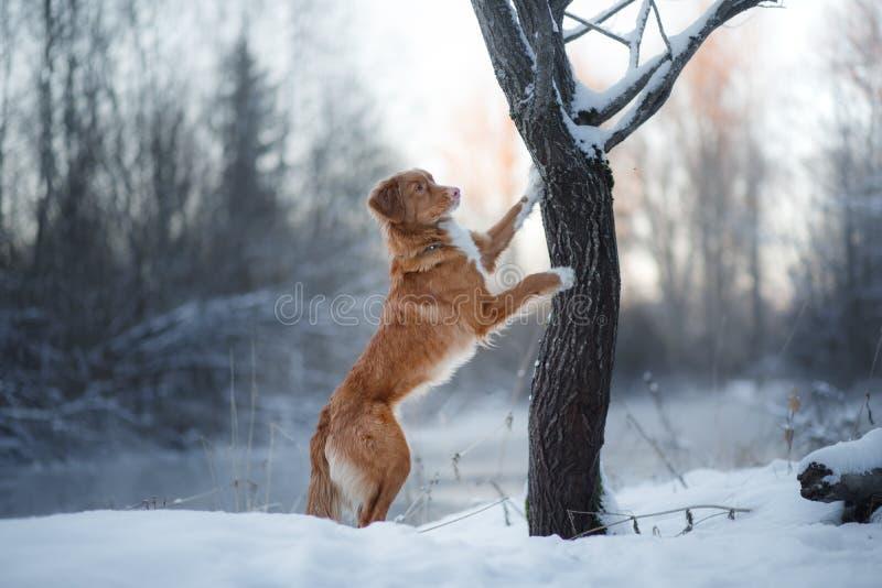 Retriever διοδίων παπιών της Νέας Σκοτίας σκυλιών, υπαίθρια το χειμώνα, χιόνι, στοκ εικόνες με δικαίωμα ελεύθερης χρήσης