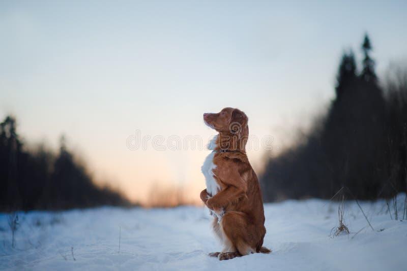 Retriever διοδίων παπιών της Νέας Σκοτίας σκυλιών, υπαίθρια το χειμώνα, χιόνι, στοκ φωτογραφίες με δικαίωμα ελεύθερης χρήσης