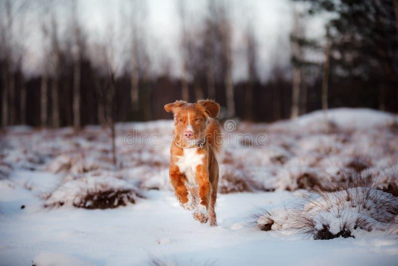Retriever διοδίων παπιών της Νέας Σκοτίας σκυλιών, υπαίθρια το χειμώνα, χιόνι, στοκ εικόνες