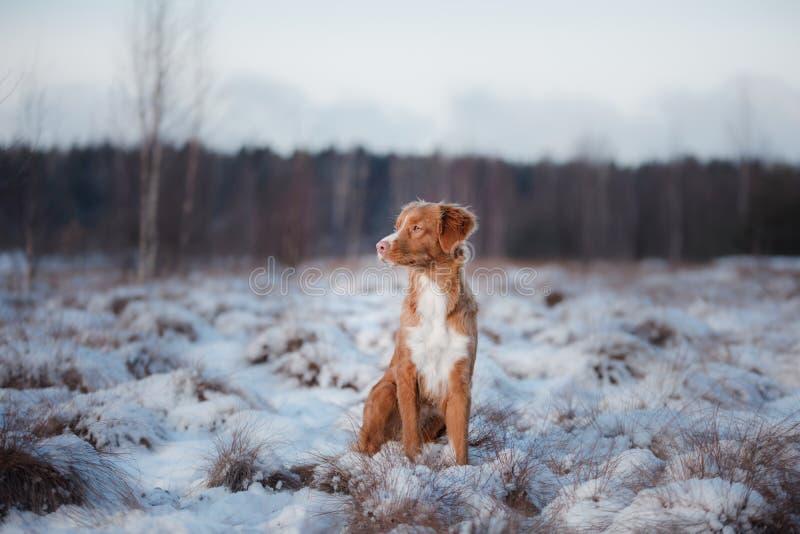 Retriever διοδίων παπιών της Νέας Σκοτίας σκυλιών, υπαίθρια το χειμώνα, χιόνι, στοκ φωτογραφία