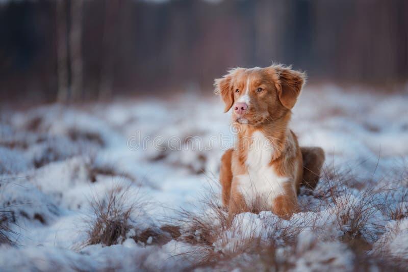 Retriever διοδίων παπιών της Νέας Σκοτίας σκυλιών, υπαίθρια το χειμώνα, χιόνι, στοκ εικόνα με δικαίωμα ελεύθερης χρήσης