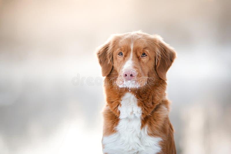 Retriever διοδίων παπιών της Νέας Σκοτίας σκυλιών, υπαίθρια το χειμώνα, χιόνι, στοκ εικόνα