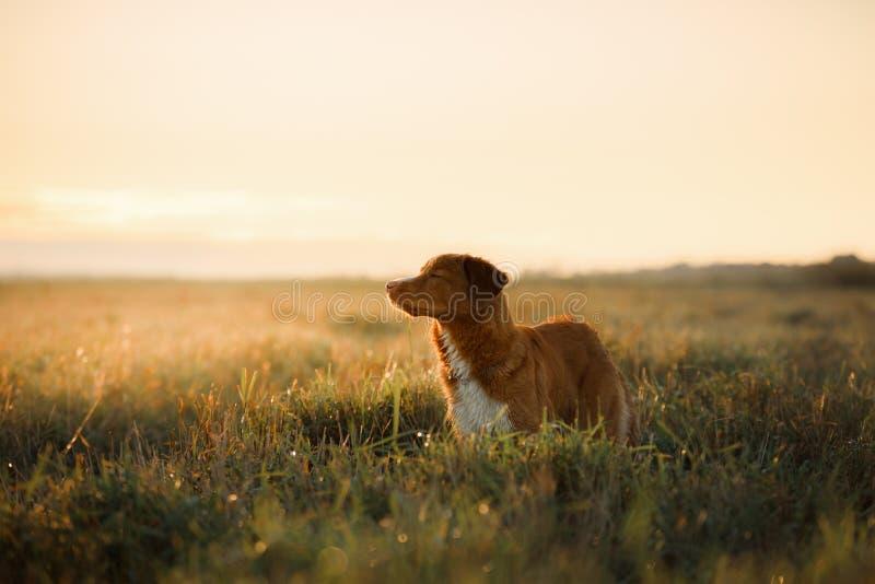 Retriever διοδίων παπιών της Νέας Σκοτίας σκυλιών στοκ εικόνα με δικαίωμα ελεύθερης χρήσης