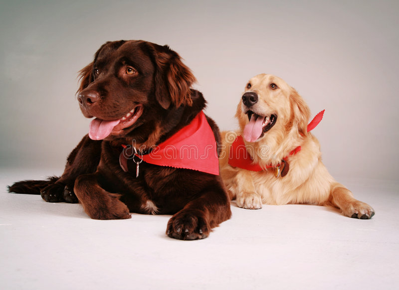 retriever σκυλιών στοκ φωτογραφία