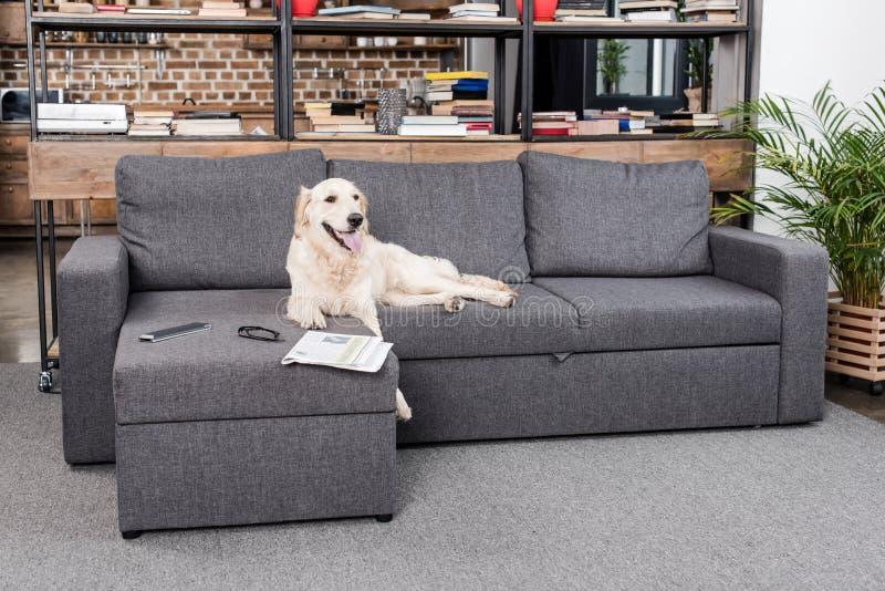 Retriever σκυλί που βρίσκεται στον καναπέ με τηλεχειρισμό, την εφημερίδα και eyeglasses TV το στοκ φωτογραφία