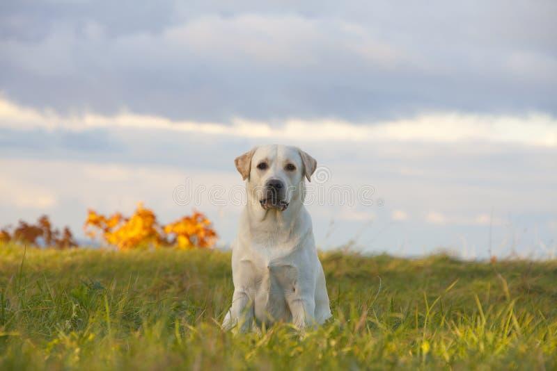 retriever του Λαμπραντόρ σκυλιών στοκ φωτογραφία