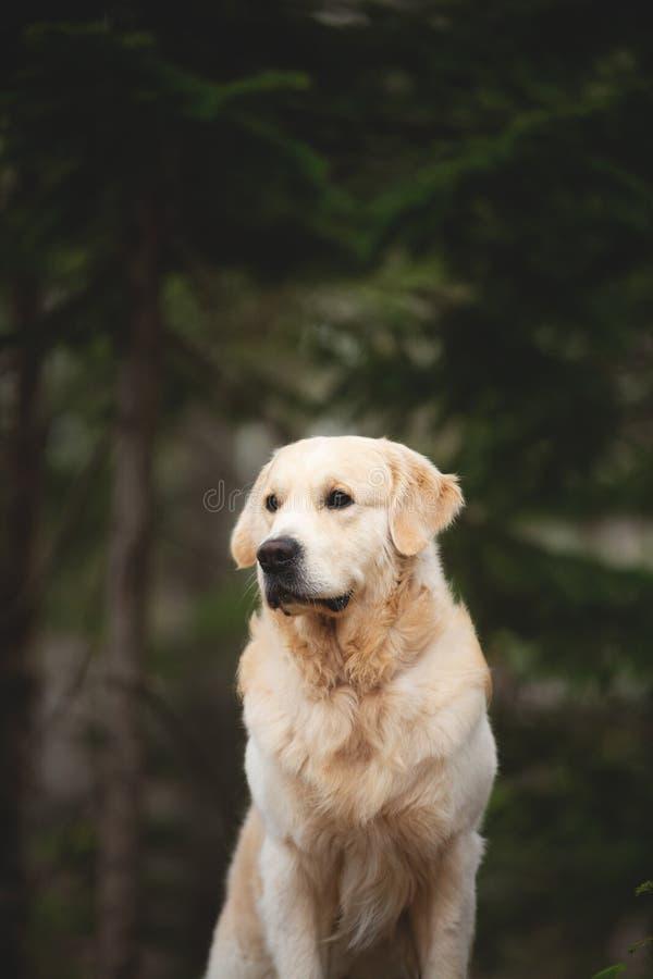 Retriever красивой и свободной породы собаки золотой сидя outdoors в зеленом лесе на заходе солнца весной стоковое изображение rf