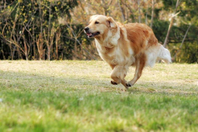 Retriever красивой счастливой собаки золотой бежать вокруг и играя стоковые фото