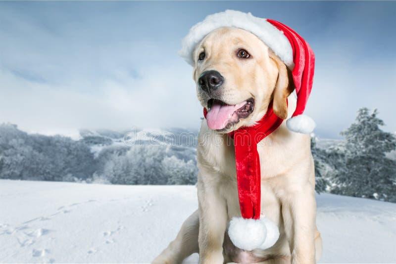 Retriever Лабрадора с красной шляпой Санта Клауса дальше стоковые изображения rf
