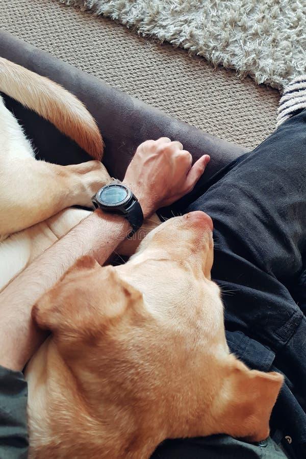 Retriever Лабрадор спит на человеке стоковое фото rf
