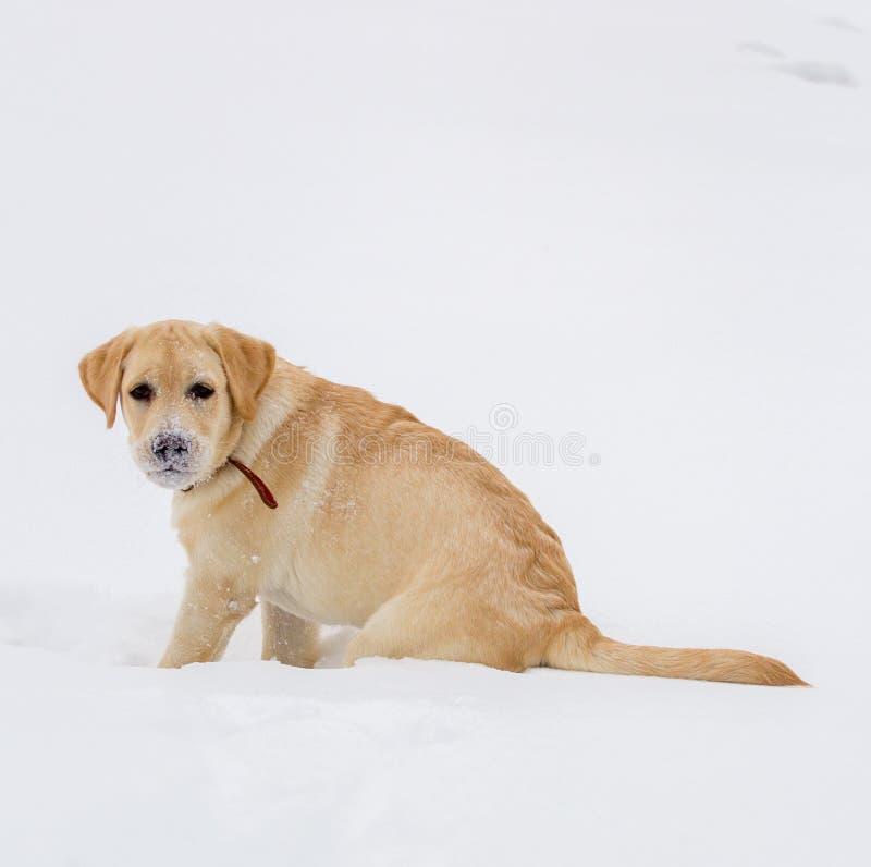 Retriever Лабрадора на прогулке зимы стоковое изображение rf