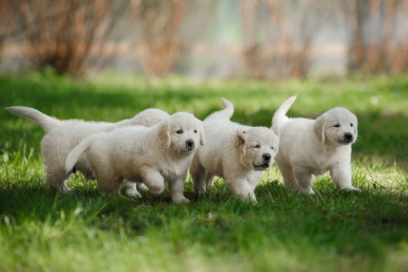 Retriever маленьких puppys золотой стоковое изображение rf