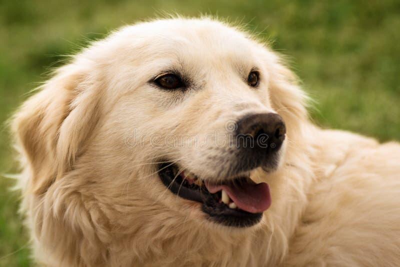 retriever портрета собаки золотистый стоковые фотографии rf