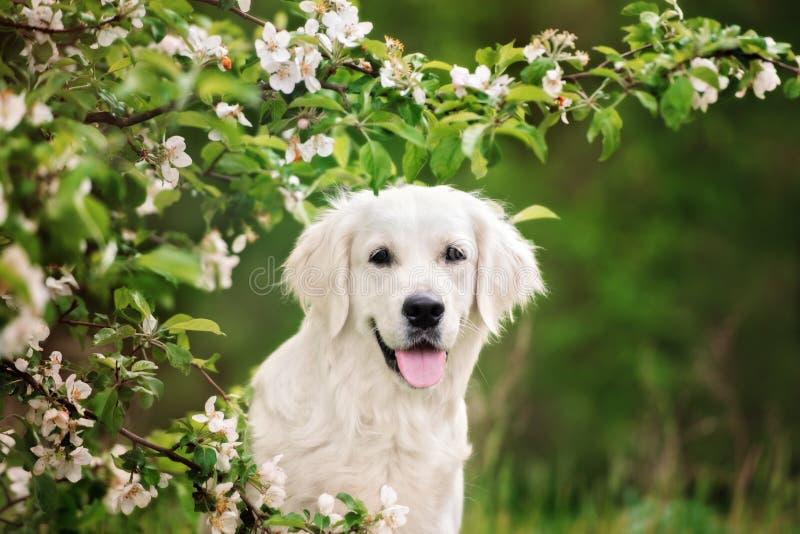 retriever портрета собаки золотистый стоковое фото