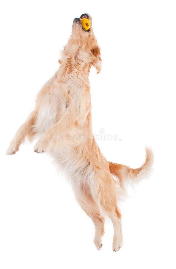 retriever собаки золотистый играя стоковое изображение rf