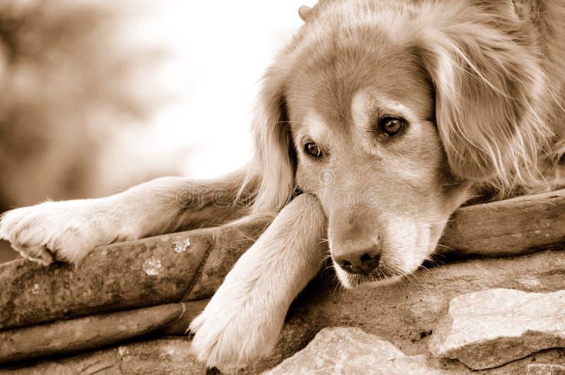retriever собаки золотистый отдыхая стоковое фото rf