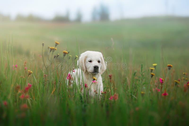 Retriever собаки золотой в цветках стоковые изображения rf