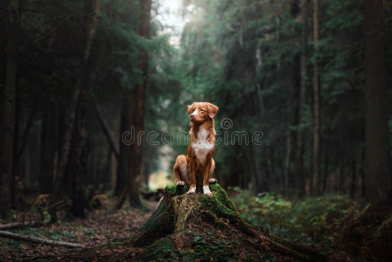 Retriever утки Новой Шотландии собаки звоня стоковые фотографии rf