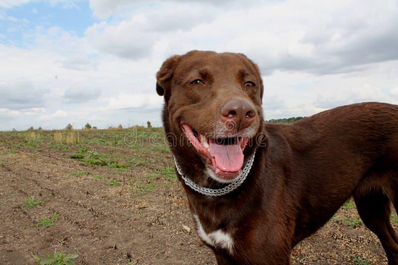 Retriever чесапикского залива породы собаки шоколада стоковое фото