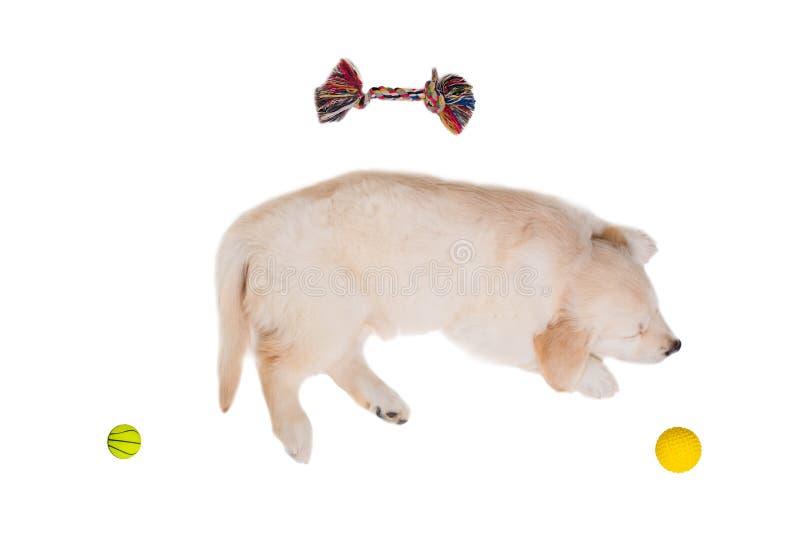 Retriever щенка золотой на белой изолированной предпосылке стоковое изображение rf