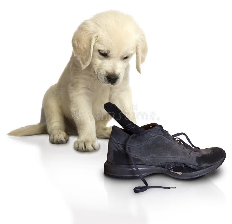 Retriever щенка золотой с ботинками стоковые изображения rf