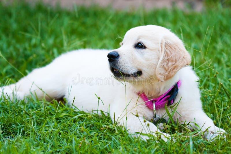 retriever щенка травы golder девушки отдыхая стоковые фотографии rf