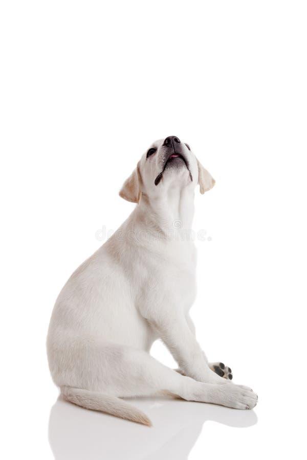 Download Retriever щенка labrador стоковое фото. изображение насчитывающей портрет - 18384170